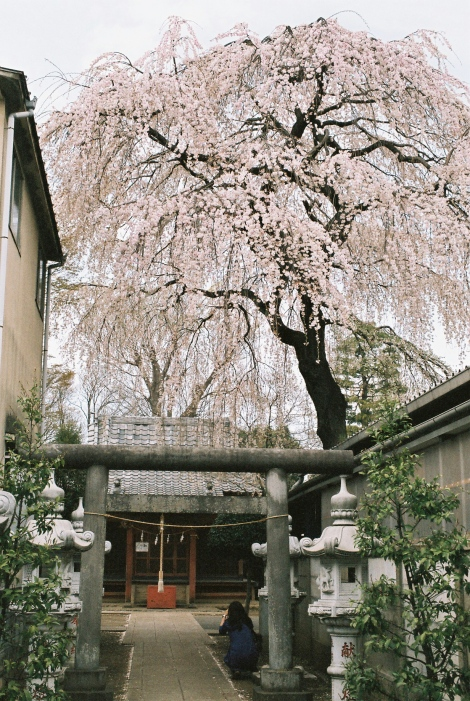 A little shrine along the way. I really like these willow tree-esque sakura.