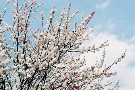 This tree had a mix of pink and white blossoms!