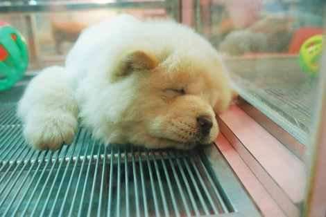 FYI: the most huggable puppy in the world is living in a petshop near the Shilin Night Market in Taipei.