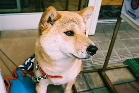 He was so friendly! If I ever get a dog I want a shiba! Or is this an Akita? I can't tell the difference..